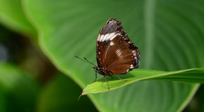 Farfalla dell'esploratore Immagini Stock Libere da Diritti