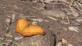 Farfalla dell'incrociatore fotografia stock libera da diritti