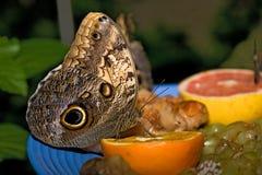 Farfalla dell'insetto 002 Immagini Stock Libere da Diritti