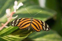 Farfalla dell'insetto 008 Fotografie Stock