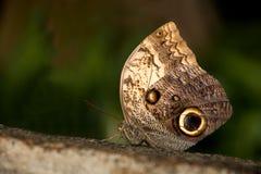 Farfalla dell'insetto 011 Immagini Stock