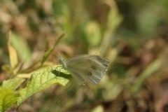 Farfalla dell'insetto sul fiore fotografie stock libere da diritti