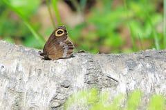 Farfalla dell'occhio Fotografia Stock Libera da Diritti