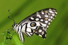Farfalla della calce Fotografia Stock