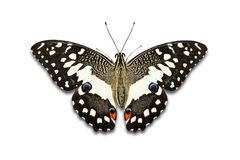 Farfalla della calce immagini stock libere da diritti
