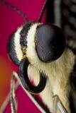 Farfalla della calce Immagine Stock