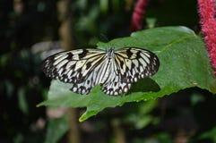 Farfalla della carta di riso Immagine Stock Libera da Diritti