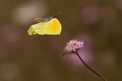 Farfalla della cleopatra di volo Fotografie Stock