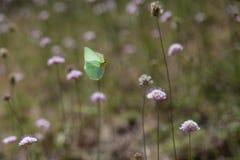 Farfalla della Cleopatra durante il volo Fotografia Stock Libera da Diritti