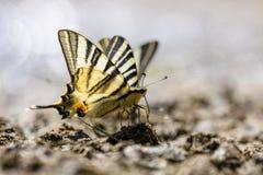 Farfalla della coda del sorso Fotografie Stock