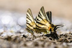 Farfalla della coda del sorso Fotografie Stock Libere da Diritti
