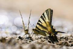 Farfalla della coda del sorso Immagine Stock