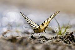 Farfalla della coda del sorso Fotografia Stock Libera da Diritti