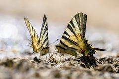 Farfalla della coda del sorso Immagini Stock Libere da Diritti