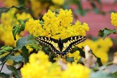 Farfalla della coda del sorso dell'anice Fotografie Stock Libere da Diritti