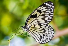 Farfalla della crisalide Immagini Stock