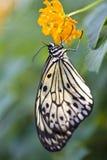 Farfalla della crisalide dell'albero Fotografie Stock Libere da Diritti