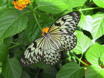 Farfalla della crisalide dell'albero Fotografia Stock Libera da Diritti