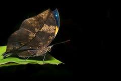 Farfalla della foglia Fotografia Stock