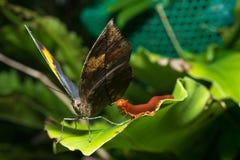 Farfalla della foglia Fotografie Stock