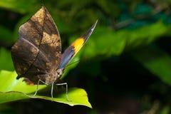 Farfalla della foglia Immagini Stock