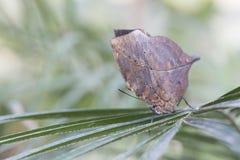Farfalla della foglia di Idian fotografia stock libera da diritti
