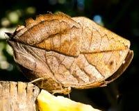 Farfalla della foglia (inachus di Kallima) Immagini Stock
