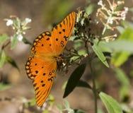 Farfalla della fritillaria del golfo fotografia stock libera da diritti