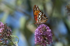 Farfalla della fritillaria del golfo sul fiore Fotografie Stock Libere da Diritti