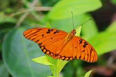 Farfalla della fritillaria del golfo sul fiore in Cuba Immagini Stock Libere da Diritti