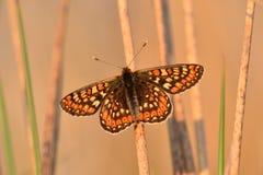 Farfalla della fritillaria della palude Immagini Stock Libere da Diritti