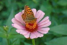 Farfalla della fritillaria di Brown sulla zinnia rosa Immagine Stock Libera da Diritti