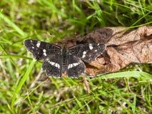Farfalla della mappa - levana di Araschnia Fotografie Stock