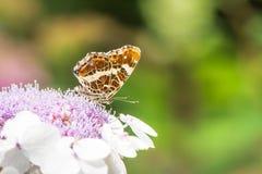 Farfalla della mappa sul fiore dell'ortensia Fotografie Stock