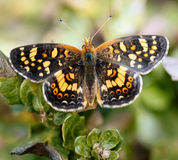 Farfalla della mezzaluna del campo Fotografia Stock Libera da Diritti