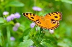 Farfalla della pansé del pavone Fotografie Stock Libere da Diritti