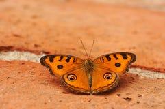 Farfalla della pansé del pavone sul mattone Fotografia Stock Libera da Diritti