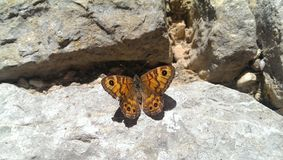 Farfalla della parete Fotografia Stock
