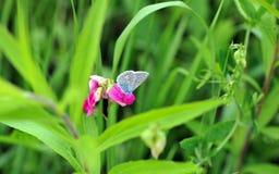 Farfalla della primavera Immagini Stock Libere da Diritti