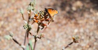 Farfalla della regina appollaiata sui germogli dell'aloe Fotografia Stock