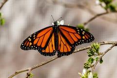 Farfalla della regina, diffusione delle ali, alimentantesi fiore Fotografia Stock