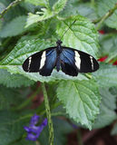Farfalla della Sara Longwing fotografia stock libera da diritti