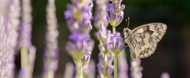 Farfalla della scacchiera in lavanda come panorama fotografie stock libere da diritti