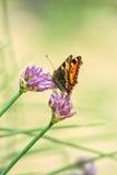 Farfalla della tartaruga sull'erba cipollina dei fiori Fotografie Stock