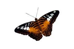 Farfalla della tigre Immagini Stock Libere da Diritti