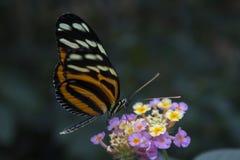 Farfalla della tigre di Ismenius Fotografia Stock