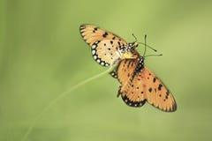Farfalla delle coppie Fotografie Stock