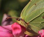 Farfalla dello zolfo Fotografie Stock Libere da Diritti