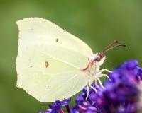 Farfalla dello zolfo Immagine Stock