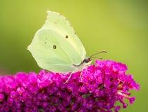 Farfalla dello zolfo Fotografia Stock Libera da Diritti